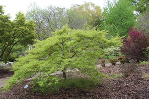 Japanese Maple 'Green Cutleaf'