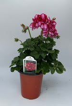 "Load image into Gallery viewer, 4.25"" Geranium Ivy"