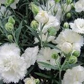 "Dianthus, ""Early Bird Frosty"" 1L"