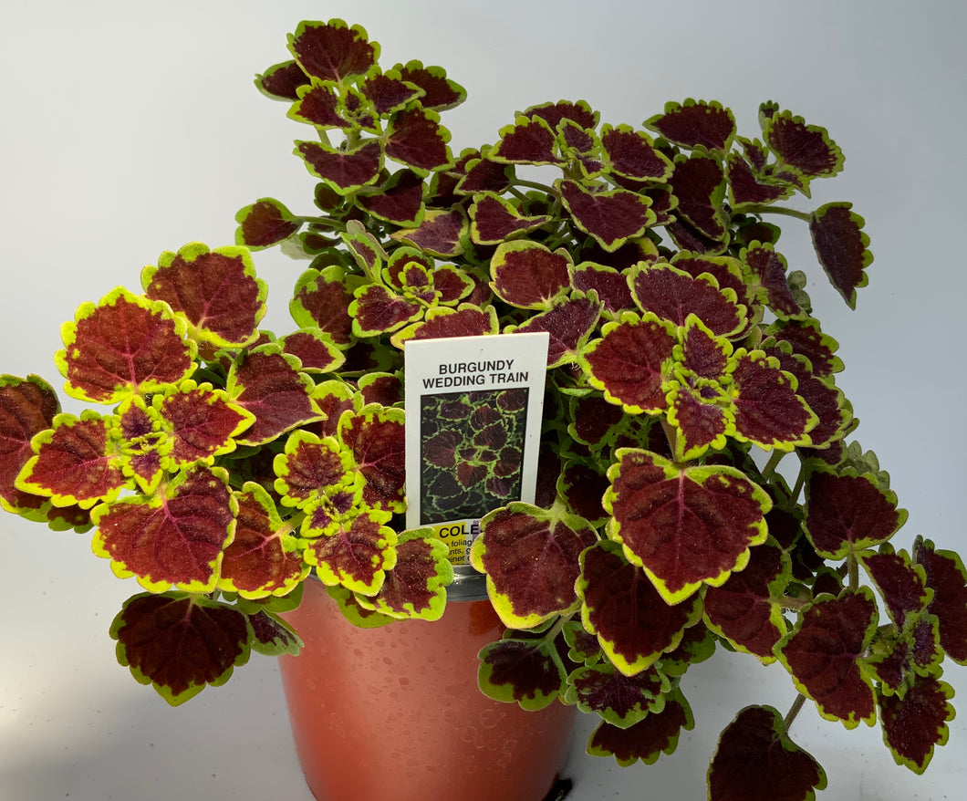 Coleus Burgundy Wedding Train 4.25