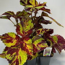 Load image into Gallery viewer, Coleus Fairway 6 Pack