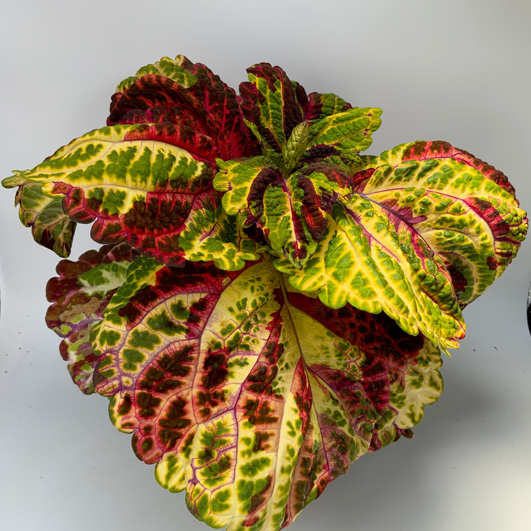 Coleus Standard Glassworks Royalty 6