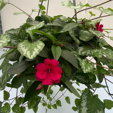 "Load image into Gallery viewer, 12"" Fiber Bounce Impatiens w/ Trailers HB"