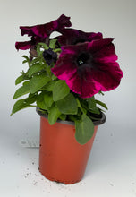 "Load image into Gallery viewer, 4.25"" Petunia"