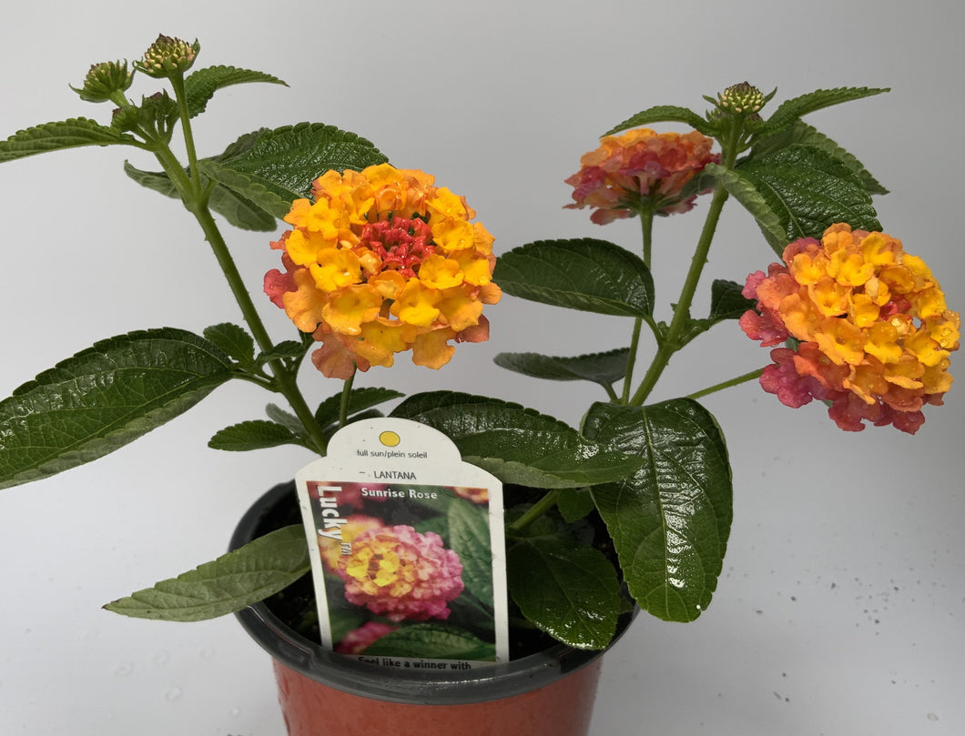 Lantana, Sunrise Rose, 4.25