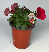 "Load image into Gallery viewer, 4.25"" Petunia Surfinia"