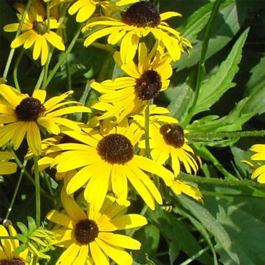 Black-Eyed Susan 'Little Suzy' 1Gal