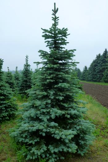 Blue Colorado Spruce 5Gal