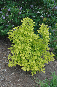 Golden Spirit Smokebush