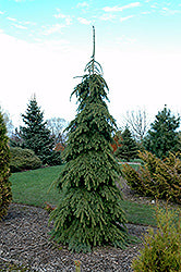 Weeping White Spruce