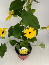 "Load image into Gallery viewer, Thunbergia 4.25"" Staked"