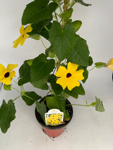 "Thunbergia 4.25"" Staked"