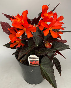 Begonia Upright Fire 6""