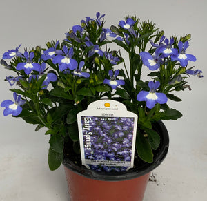 Lobelia Early Springs 4.25""