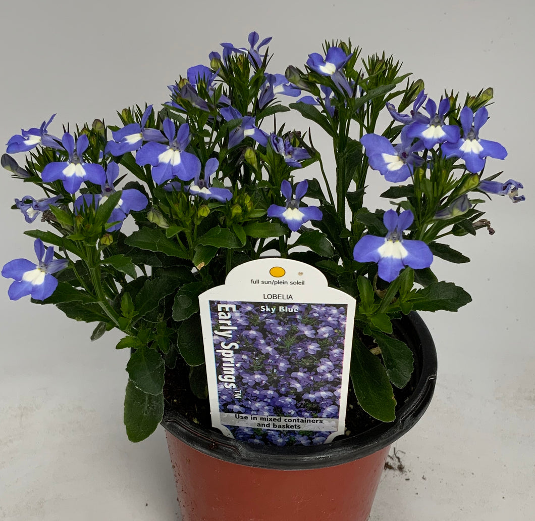 Lobelia Early Springs 4.25