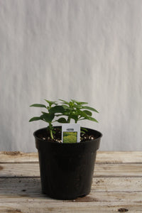 Basil 'Spicy Globe' 4""