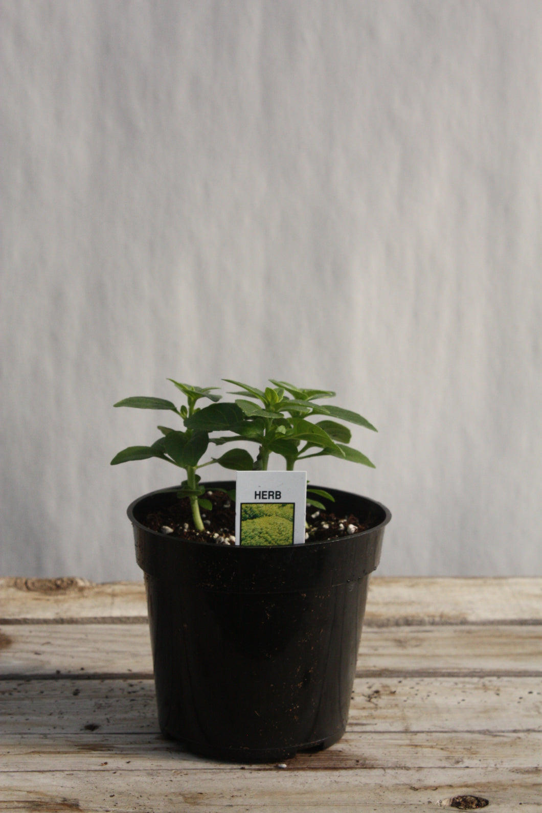 Basil 'Spicy Globe' 4