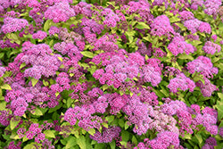 Spirea 'Magic Carpet'