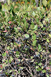 Black Chokeberry 1Gal