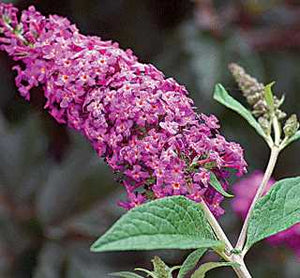 Butterfly Bush 'Miss Ruby' PW 2GAL