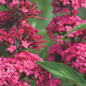 Butterfly Bush 'Prince Charming' 2GAL