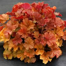 "Coral Bells, ""Northern Exposure Amber"""