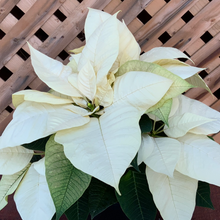 "Load image into Gallery viewer, 6"" Poinsettias"