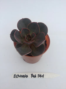 Succulent 'Echeveria Red Sky' 4""