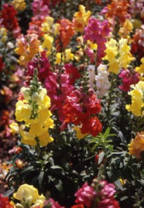 SNAPDRAGONS PANORAMA MIXED - SEED