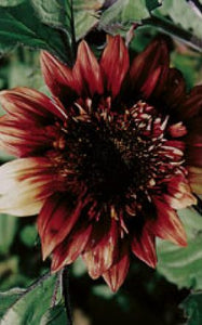 SUNFLOWERS INDIAN BLANKET - SEED