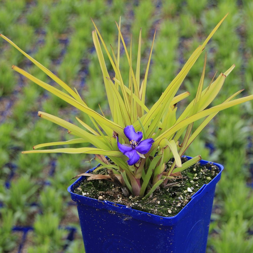 Spiderwort 1Gal