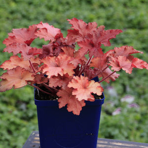 Coral Bells (Fancy-Leaf) 'Forever Red' 1Gal