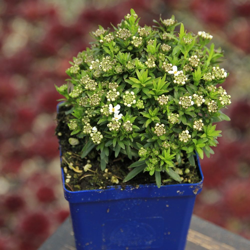 Evergreen Candytuft 'Little Gem' 9cm