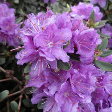 Load image into Gallery viewer, Rhododendron 'Purple Gem' 2Gal