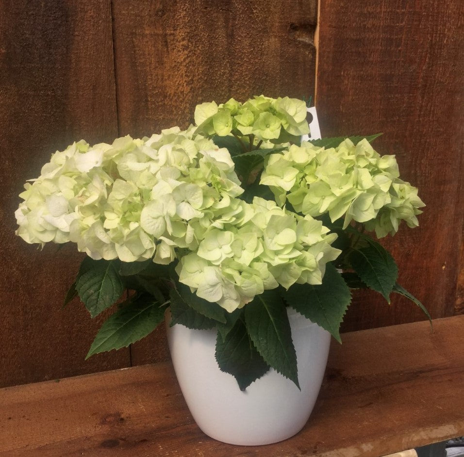 Hydrangea with White Pot