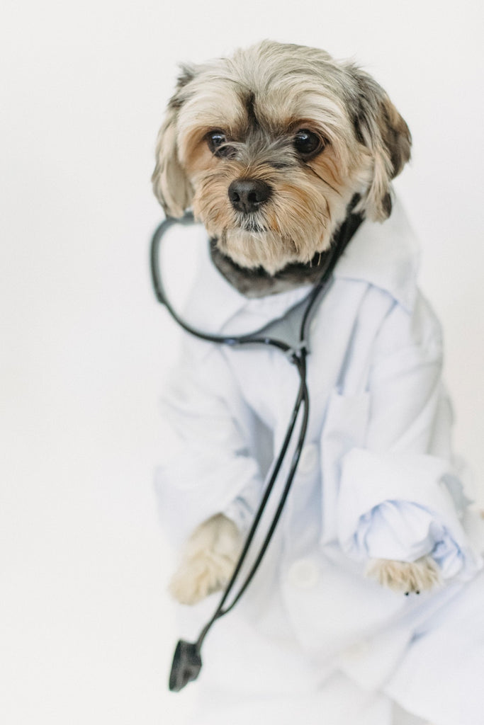 small dog wearing a doctors coat and a stethoscope