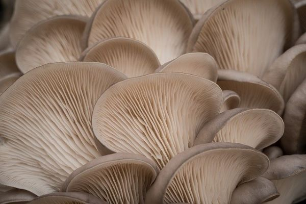 Mushrooms - Oyster 150gm prepacks - Mr Fresh Foods Pty Ltd