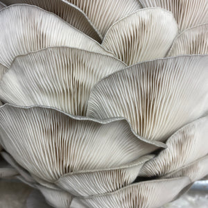 Blue Oyster Mushroom Home Grow Kit
