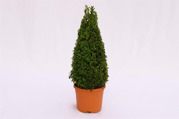 Buxus 23cm Pyramid in a Terracotta Style Pot