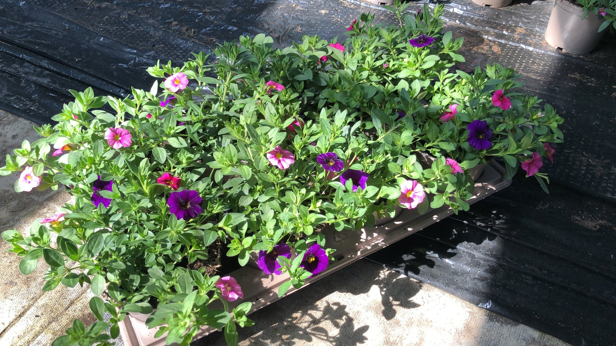 Confetti Mini 4 x 1L Garden Mini Petunia Red, Pink & Deep Blue Trio Collection