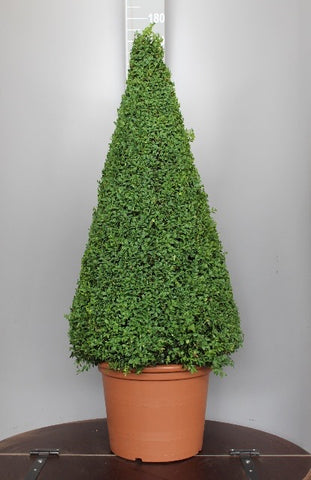 Buxus Pyramid 130cm in a Terracotta Style Pot