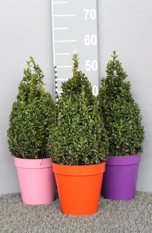 Buxus Pyramid 19cm in a Coloured Pot