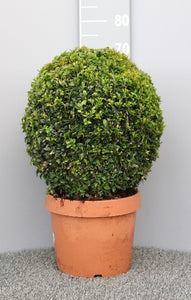 Buxus 50cm Ball in Terracotta Style Pot