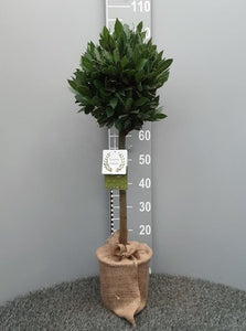 Bay Tree 90-100cm High with 30cm Ball