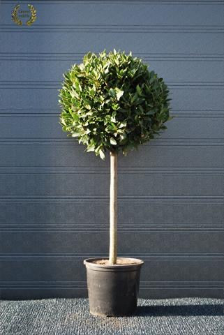 Bay Tree 135cm High with 60cm Ball