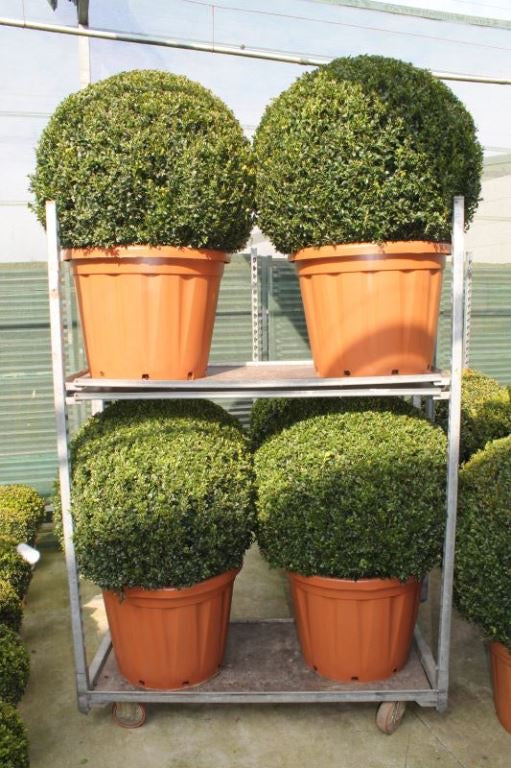 Buxus 80cm Ball in Terracotta Style Pot