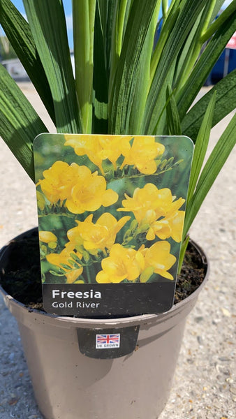 Freesia Gold River 2L