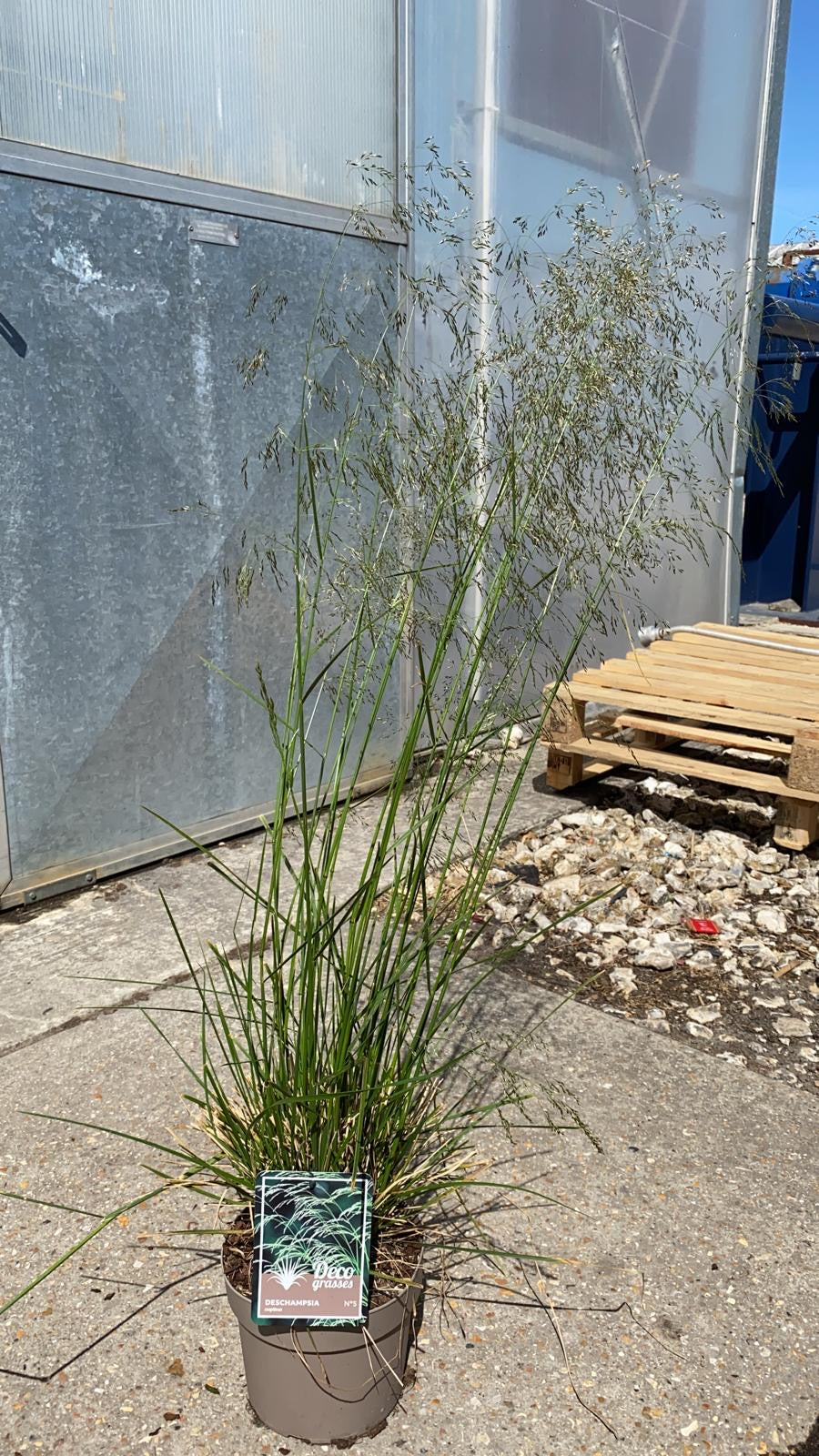 Deschampsia Cespitosa Grass 3L Pot