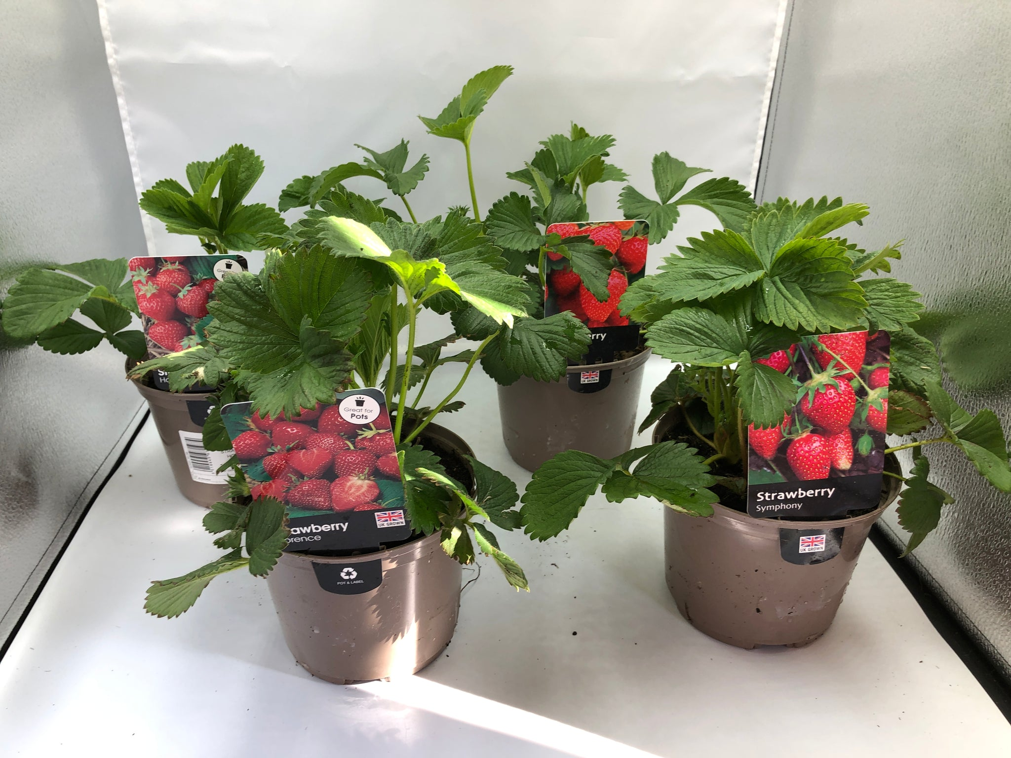 1.5L Strawberry Collection