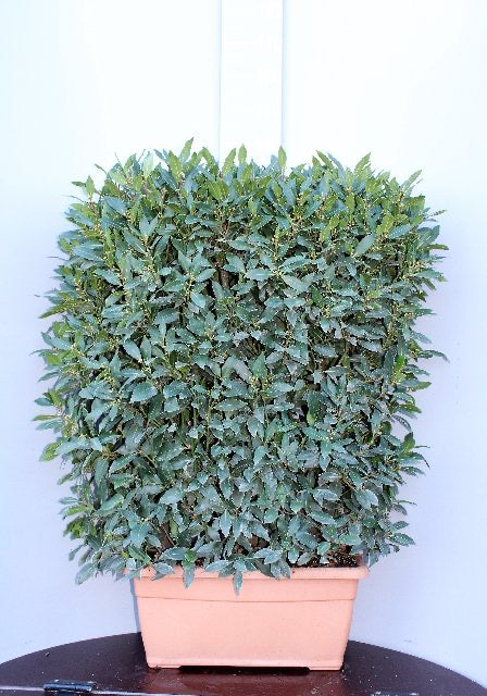 Bay 60x120cm Instant Hedge
